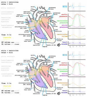 RT @learnthngs: THIS IS HOW HEART WORK: (The cardiac cycle and the ECG, all together explained) https://t.co/FWJAJky75C: RT @learnthngs: THIS IS HOW HEART WORK: (The cardiac cycle and the ECG, all together explained) https://t.co/FWJAJky75C
