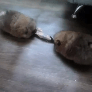 ruby-white-rabbit:  vastderp:  roachpatrol:  sirartwork: reblog for noises the last 10,000 years of human history are justified by the fact we turned wolves into squeaky pompoms   Why are this person's slippers fighting   Look at these grunting toasted marshmallows : ruby-white-rabbit:  vastderp:  roachpatrol:  sirartwork: reblog for noises the last 10,000 years of human history are justified by the fact we turned wolves into squeaky pompoms   Why are this person's slippers fighting   Look at these grunting toasted marshmallows