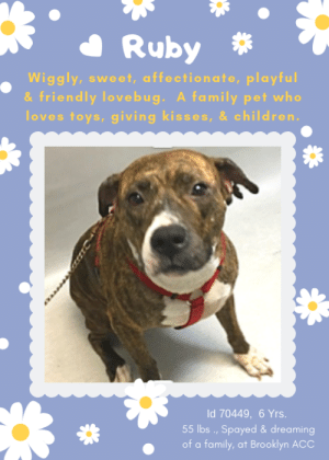 "Being Alone, Animals, and Apparently: Ruby  Wiggly, sweet, affectionate, playful  & friendly lovebug. A family pet who  loves toys, giving kisses, & children.  Id 70449, 6 Yrs.  55 lbs . ,Spayed & dreaming  of a family, at Brooklyn ACC TO BE KILLED – 8/20/2019  ""Tree you are, / Moss you are, / You are violets with wind above them. / A child - so high - you are, / And all this is folly to the world."" - A Girl, Ezra Pound  She is wiggly, sweet, affectionate, playful, absolutely adorable and people pleasing perfection. Ruby is incredibly endearing, soft, loving and she was a family pet who lived with 2 young children she adored and 2 other dogs who were her ""pack."" Respectful, relaxed, and playful with all she adored her life and her family, and along with her sibling dogs, her life was complete. But her parents were absolutely negligent to the extreme in protecting their pups from escaping the yard and getting into mischief, and RUBY and her best friend and sister Sapphire would go on grand adventures that invariably would end in heartache. And now these perfect family pets are on the list to die – yes, both of them, because of the failure of their parents to secure their property and pups. The children are crying over the loss of their pets, and Ruby and Sapphire can't imagine what they did to deserve this imprisonment. Ruby is a gem of a pup, she just did what any of our own dogs would do -- protect her kingdom from intruding dogs who were not part of her pack. She deserves a loving family, a competent family, an experienced foster or adopter who will keep her safe and confined to her own yard and home. If you can give her a safe place to land, please hurry and message our page or email us at MustLoveDogsNYC@gmail.com for assistance fostering or adopting her now. Don't let this precious girl die. Ruby is spayed and ready to go.  RUBY, ID# 70449, 6 Yrs. old, 55.8 lbs., Spayed Female Brooklyn ACC, Large Mixed Breed, Brown Brindle / White Surrender Reason: Behavior – doesn't like other animals  Shelter Assessment Rating: New Hope Rescue Only Medical Behavior Rating: 2. Blue  I came to the shelter with my sister Sapphire, Id 70450 (also on the list to die): https://www.facebook.com/mldsavingnycdogs/photos/a.745242932328646/1045873242265612/?type=3&theater   AT RISK MEMO: Although she displays social behavior when interacting with staff members, Ruby has been observed to exhibit mild handling sensitivity during her interactions where she attempts to move away from handlers with exuberant contact. Due to these observations, as well as her multiple-bite history toward other dogs, we feel she would be best set up to succeed if placed with an experienced rescue partner who can help manage these behaviors and decompress in a more stable environment, prior to permanent placement in an adult-only home. There are stipulations with placement. There are no medical concerns at this time.  INTAKE NOTE – DATE OF INTAKE, 7/26/2019: Ruby had a soft and wiggly body during intake and ran up to the counselor right away and began to jump on the counselors lap and give kisses. Counselor was able to scan for a microchip, collar and take a picture without any issues.   OWNER SURRENDER NOTES – BASIC INFORMATION: Ruby is a 6 year old spayed female that has no current medical concerns that the owner is aware of. Owner had Ruby in the home since she was born but had to surrender due to behavior. Ruby lived with 2 adults, 2 children, and 2 other dogs. When a stranger would come to the owners home, Ruby was friendly and outgoing. She will solicit attention by jumping on the person and giving kisses. Ruby lived with 2 children ages 4 and 6 and was always respectful and playful with the children in the home. Ruby lived with other female dogs (same size), 1 female was spayed and 1 unaltered, and was respectful around the other 2 dogs. Owner stated that she would sometimes get into a scuffle with the her litter mate but never ever bit hard enough to break skin. Ruby has never been around a cat so behavior is unknown. Ruby is not bothered if someone approaches her food, treats or toys. She is housetrained and has a high energy level. Ruby has a bite history (dog to dog) with the most recent bite being 2 weeks ago on 7/12/19.   Other Notes: Ruby is not bothered when someone would hold Ruby or restrain her, being pushed off furniture, being disturbed while sleeping, being given a bath, having her paws touched or when an unfamiliar person would come to the owners home. She has never had any medical issues and has no known medical concerns.   For a New Family to Know: Ruby is described as friendly, affectionate and playful with a high activity level. She likes to play with all types of toys. In the home, Ruby liked to stay in her favorite spot or snuggle with the owner. She was fed dry food only brand Wellness. She was kept both indoor/outdoor and is house trained. When left alone in the home, she would go through the garbage. Ruby knows the cues sit, come, stay , down and paw. For exercise, she was let out in the yard to play. When on leash, she tends to pull lightly. Owner has never walked her off leash so behavior is unknown.   Bite history: 7/12/19: Previous owner reported Ruby and Sapphire to have had a recent bite incident with a neighbor's dog that was being walked on-leash. Ruby and Sapphire were observed to escape from the backyard and began hard barking as they ran toward the neighbor's small dog and one of them bit her on the stomach. This bite resulted in two punctures and the neighbor's dog was rushed to the emergency vet to seek treatment for the wounds.   5/10/15: Previous owner reported Ruby and Sapphire to have had a bite incident with a neighbor's dog. Ruby and Sapphire were observed to escape from the backyard and began hard barking and growling as they ran toward the neighbor's dog and one of them bit her on the neck. This bite resulted in multiple punctures and the neighbor's dog was rushed to the emergency vet to seek treatment and ultimately euthanized as a result of the severity of the wounds.  SHELTER ASSESSMENT SUMMARIES:  Leash Walking  Strength and pulling: Mild-moderate pulling  Reactivity to humans: None Reactivity to dogs: None Leash walking comments:   Sociability  Loose in room (15-20 seconds): Soft and loose, tail wagging, approaches readily, jumps up onto desk, stays near handler, accepts contact, some panting, jumps up onto handler softly soliciting attention, readily accepts treats softly  Call over: Approaches readily, moves away; Approaches again, with coaxing  Sociability comments:   Handling  Soft handling: Neutral body, tail high and wagging, some displacement (sniffing shoes), panting, ears erect, moves away somewhat with contact, lip licking, accepts contact  Exuberant handling: Neutral body, tail high and wagging, lip licking, moves away with contact  Handling comments:   Arousal  Jog: Engages in play with handler, soft and loose; Jumps up, tail wagging, panting, does not escalate  Arousal comments:   Knock  Knock Comments: No response to knock; Approaches readily, soft and loose, tail wagging when assistant enters   Toy  Toy comments: Minimal interest; Distracted by assess-a-hand   PLAYGROUP NOTES – DOG TO DOG SUMMARIES: According to Ruby's owner, she lived with other female dogs (same size). 1 female was spayed and 1 unaltered and was respectful around the other 2 dogs. The owner stated that she would sometimes get into a scuffle with her littermate but never bit hard enough to break the skin. The owner also reported that Ruby and her sibling has escaped the yard twice in the last 5 years and both times Ruby has bitten another dog causing puncture wounds. The other animal had to be rushed to an emergency vet for treatment.   7/27: Due to Ruby's potential legal hold status, only a gate greet was conducted with a novel male dog. She approaches the male at the with a tense body but is hesitant to greet.   FUN FACT: Ruby understands the cues for ""sit,"" ""come,"" ""down"" and ""paw.""  INTAKE BEHAVIOR - Date of intake:: 7/26/2019 Summary:: Soft and wiggly, approached readily, jumped up, licked staff; Allowed all handling  MEDICAL BEHAVIOR - Date of initial:: 7/26/2019 Summary:: Somewhat timid, friendly; Allowed all handling  ENERGY LEVEL:: Ruby has been observed to exhibit a medium level of energy during her interactions in the care center. We cannot be certain of her behavior in a home environment, but we recommend that she be provided daily mental and physical stimulation as an outlet for her energy.  BEHAVIOR DETERMINATION:: New Hope Only Behavior Asilomar: TM - Treatable-Manageable  Recommendations:: No children (under 13),Place with a New Hope partner Recommendations comments:: No children (under 13): Due to Ruby's reported bite history and observed handling sensitivity, we feel she would be best set up to succeed in an adult-only home at this time. Place with a New Hope partner: Although she displays social behavior when interacting with staff members, Ruby has been observed to exhibit mild handling sensitivity during her interactions where she attempts to move away from handlers with exuberant contact. Due to these observations, as well as her multiple-bite history toward other dogs, we feel she would be best set up to succeed if placed with an experienced rescue partner who can help manage these behaviors and decompress in a more stable environment, prior to permanent placement in an adult-only home. Force-free, reward based training only is advised when introducing or exposing Ruby to new and unfamiliar situations, as well as utilizing guidance from a qualified, professional trainer/behaviorist.   Potential challenges: : Handling/touch sensitivity,Bite history (dog) Potential challenges comments:: Handling sensitivity: Ruby exhibits some handling sensitivity during her interactions where she has been observed to become tense, head whip and move away from handlers when uncomfortable. Although she continues to display social behavior and has not been observed to escalate, Ruby should never be forced to interact or approach if she is not comfortable and force-free, reward based training only is advised when handling her. Please refer to the handout for Handling/touch sensitivity. Bite history (dog): Ruby has been reported by her previous owner to have had two bite incidents with two different dogs. Both incidents occurred when both Ruby and Sapphire (70450) had escaped from the yard and bit a neighbor's dog, resulting in multiple punctures. (SEE BITE HISTORY). Please refer to the handout for Bite history (dog).   MEDICAL NOTES  7/26/2019 DVM Intake Exam Estimated age: 6y Microchip noted on Intake? yes History : owner surrender Subjective: BARH, good appetite, no elimination concerns Observed Behavior - allowed all handling, mildly timid but friendly when interacted with Evidence of Cruelty seen - no Evidence of Trauma seen - no Objective P = wnl R = wnl BCS 6/9 EENT: Eyes clear, ears AU mild erythema, no nasal or ocular discharge noted Oral Exam: adult dentition, mild attrition PLN: No enlargements noted H/L: NSR, NMA, CRT < 2, Lungs clear, eupnic ABD: Non painful, no masses palpated U/G: female spayed, scar noted, no leakage or discharge MSI: Ambulatory x 4, skin free of parasites, no masses noted, healthy hair coat CNS: Mentation appropriate - no signs of neurologic abnormalities Rectal: visually normal Assessment otitis ext - suspect allergies Prognosis: excellent Plan: ok for adoption tresaderm 4 drops AU BID until 8/1 rec derm consult with placement SURGERY: spayed   8/1/2019 Progress exam History: Intake 7/26/19: Owner surrender, noted otitis externa. Started tresaderm. Today, 8/1: Recheck otitis Subjective: BAR, no coughing/sneezing/vomiting/diarrhea. No pruritus or discomfort noted by ACS or behavior staff. Objective: Cageside exam performed. Eyes: Clear bilaterally, no discharge Nasal Cavity: No nasal discharge. Lungs: Eupneic Musculoskeletal: Ambulatory x 4 with no appreciable lameness. Integument: Unremarkable haircoat. Neuro: Appropriate mentation. Assessment: -Otitis externa (resolved) Prognosis: Good Plan: -Okay to d/c tresaderm -Recommend dermatology consult with placement  8/15/2019 Progress exam-longterm stay History : Intake 7/26/19-otitis externa, started on tresaderm Subjective: BARH. No csvd. Some whale eyes, head shy Objective P = wnl R = wnl BCS = 5/9 EENT: Eyes clear, ears clean, no nasal or ocular discharge noted Oral Exam: clean adult dentition, no oral lesions PLN: No enlargements noted H/L: NSR, NMA, CRT < 2, Lungs clear, eupneic ABD: Non painful, no masses palpated U/G: FS, no MGTs, no vulvar d/c MSI: Ambulatory x 4, skin free of parasites, no masses noted, healthy hair coat CNS: Mentation appropriate - no signs of neurologic abnormalities Assessment: Apparently healthy Prognosis: Excellent Plan: CTM while at BACC   *** TO FOSTER OR ADOPT ***  RUBY IS RESCUE ONLY. You must fill out applications with New Hope Rescues to foster or adopt her. She cannot be reserved online at the ACC ARL, nor can she be direct adopted at the shelter. PLEASE HURRY AND MESSAGE OUR PAGE FOR ASSISTANCE!"