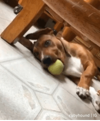 This dog is so dumb I want 10 of them - 📸@rubyhound - bassethound 9gag: rubyhound I IG This dog is so dumb I want 10 of them - 📸@rubyhound - bassethound 9gag