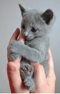 Russian blue kitten.: Russian blue kitten.
