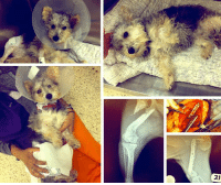 Animals, Bodies , and Bones: ry  뇌 SAVANNAH, GA....2 y/o Cairn Terrier Mix, Hit by Car, needs major Surgery.  Please, Help Us, Help Her by DONATING.  http://www.noahs-arks.net/animal/view/penny-cairn-yorkie-mix#.WK2aZhiZM_U  SAVANNAH, GA.....Adorable Penny is a two-year-old Cairn Terrier Mix that was picked up by Chatham County Animal Control.   It appears she was hit by a car and had an old break in her rear leg.   Now cute does not even begin to describe adorable Penny.  Animal Control felt certain someone would come looking for this sweet pup with the big ears.  Penny's stray hold was up, and she had to get out, or her chances of getting the Medical Care she needed were not going to happen.   It appears Cuteness does not guarantee an animal will be rescued.   I decided if another rescue was going to step up for her they probably would have by now, so I agreed to take her into our Medical Program to get her the Surgery that she needed.   Penny was brought to us in Okatie, SC and we had her taken to our Surgeons at Carolina Veterinary Specialists in Matthews, NC.   Penny's x-rays showed that she had an old injury that had healed but had not healed in proper alignment as you can see from the x-ray.   Despite the severely displaced fracture, there was enough callus of fibrous tissue around it that it was holding it somewhat stable, so that she could use it when she walked.    Unfortunately, when palpated the fractured site was still unstable.   We decided it was better to have Dr. Nanfelt go in and do surgery to break down all the fibrous tissue callus and align the bones and stabilize them with a plate.  Surgery gives Penny the best possible chance of having a leg that would not give her issues later down the road.     The surgery was long and difficult because the amount of fibrous tissue that had to be removed was a lot more than they had anticipated.   Penny's bones had to be carved and made to fit with each other so they could be properly aligned and then a long