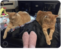 A nice hot cup of tea with napping ginger snaps. Purrfect evening.  ☕️ 🐈🐈❤❤: s&s.  yp A nice hot cup of tea with napping ginger snaps. Purrfect evening.  ☕️ 🐈🐈❤❤