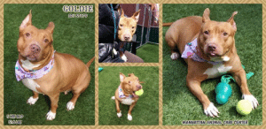 Andrew Bogut, Cats, and Children: S16063  MANHATTANANIMALCARE CENTER INTAKE DATE: 03-14-2019  Goldie is love, life and fun! dumped by owner for allergies but yet those allergies didn't seem to bother them prior....On top of that instead of getting medical attention for Goldie's painful ear..It was yet just another reason.. Please help this girl who is full of life, love and fun!!  MY VIDEO: Goldie is love and fun! https://youtu.be/RR4OMwk_BrY  GOLDIE, ID# 57079, 5 yrs old, 51.6 lbs, Manhattan Animal Care Center, Large Mixed Breed Cross, Brown / White Female, Owner Surrender Reason: Allergies Shelter Assessment Rating:  Medical Behavior Rating: Blue  MEDICAL EXAM NOTES  DVM Intake Exam Estimated age: 5 years +/- Microchip noted on Intake? No Microchip Number (If Applicable): History : Surrendered by owner because of allergies Subjective: BAR Hydr wnl Observed Behavior - Was compliant until attempted to examine painful ear, then struggled to get away Evidence of Cruelty seen - None observed Evidence of Trauma seen - None observed Objective  T = NE P = 132 R = wnl BCS 7-9 EENT: Eyes clear, no nasal or ocular discharge noted AU scaley med pinna w/mod malodorous waxy debris Oral Exam: gingival hyperplasia PLN: No enlargements noted H/L: NSR, NMA, CRT < 2, Lungs clear, eupnic ABD: Non painful, no masses palpated U/G: FI MSI: Ambulatory x 4, skin free of parasites, no masses noted, healthy hair coat Overwgt BCS 7/9 CNS: Mentation appropriate - no signs of neurologic abnormalities Assessment: Overwgt r/o diet endocrine AU r/o food allergy, atopy other Prognosis: good Plan: Cleaned ears, recommend repeat when sedated for spay Mometomaxx 8 drops au bid x 10 days SURGERY: Okay for surgery  https://www.nycacc.org/adopt/goldie-57079?fbclid=IwAR32cwubRvXEyJezQUKAeIM-qymAHYKbJ4ixufwH_JAPezwLm6oRvGrpcS8  *** TO FOSTER OR ADOPT ***   If you would like to adopt a NYC ACC dog, and can get to the shelter in person to complete the adoption process, you can contact the shelter directly. 