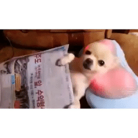 Chihuahua, Funny, and Massage: 도 뺐백 앞, 수익형 Here's a video of a Chihuahua getting a neck massage, Happy Labor Day Weekend