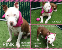 Anaconda, Apparently, and Beautiful: sa ID# 42926  Manhattan Animal Care Ce  Stunningly yrs old  Beautiful48lbs TO BE KILLED 10/22/18  As gentle and sweet as can be ~ Pink is a shy flower. <3 Lovely Pink is a wam, loving cuddlebug who would love to be someones best friend forever! Please share! A volunteer writes: Our Pink is truly the loveliest of girly girls, gentle and sweet as can be. The way she looks at you with her beautiful golden eyes and shy, catching smile, so cute and tender, she just warms your heart. She is a must to take out. We spent time together and after not too long, she had lovingly cuddled herself up in my arms like a baby. It became so clear so quickly what a gem Pink is, a well hidden gem but a glowing one with unlimited potential to be the most amazing companion. She has this way about her to lay down on the turf, so peaceful and content. I feel good and whole and I know she does, too. Our hearts beat in unison. I truly would have loved to spend the whole day with Pink! She walks really well on the leash, very close to me, does her business on the way and does not pay attention to other dogs. Her tail is out and relaxed. She was shy in our playgroups with her peers but we already know that she just needs a little time to find her bearings to become a socialite with all of us. Pink is just the most beautiful gal, so unique in her looks and a dog I would love to have by my side forever. A home sweet home and a loving master is all she needs to blossom into the wonderful companion we all would dream to be our own. Come and meet Pink at the Manhattan Care Center.  VIDEOS: Pink is shy flower  https://youtu.be/1ganlBh8Sig Pink and Kevin  https://www.youtube.com/watch?v=OR7RRCxZHm0 Pink 42926 Huarache 44059 Lady Gaga 43673 Playgroup https://www.youtube.com/watch?v=OVVo4WA0L6U  Pink ID# 42926 Manhattan Animal Care Center 5 yrs old, 48 lbs Brown / White Female Large Mixed Breed Cross  Found Stray Intake Date: 09-29-2018  SHELTER ASSESSMENT ~ EXPERIEN