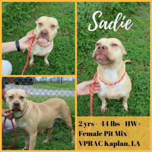 Animals, Laundry, and Memes: Sade  2 vrs 44 lbs- HW+  Female Pit Mix  VPRAC Kaplan, LA *Please note this animal is not with AAVA - we are networking for rescue as the liaison for the shelter* This baby is in a kill shelter in Abbeville, LA which does not allow public adoptions. Animals must be pulled by an approved rescue or can be adopted through AAVA.  TO ADOPT - fill out an application at http://aavarescue.com/adoptions.php  RESCUES - all rescues must now go through AAVA. Please contact us at animalaidvermilion@gmail.com. If you are not already approved please fill out a rescue application at http://aavarescue.com/rescues.php  TO FOSTER - fill out an application at http://aavarescue.com/volunteer.php  If you have any questions please contact us at animalaidvermilion@gmail.com or (337) 366-0212 or visit our website http://aavarescue.com for more information.  To donate to AAVA's general rescue fund which helps support the shelter animals needs visit this link http://paypal.me/animalaidvermilion or visit our website http://aavarescue.com/support-our-rescue.php Shelter needs can include items such as laundry detergent, baby pools, flea medication, dawn soap, heaters and fans, toys, gas for transports, pull fees for unfunded animals and other types of items.