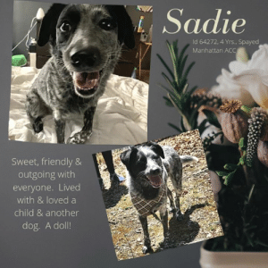 "Being Alone, Cats, and Children: Sadie  Id 64272, 4 Yrs., Spayed  Manhattan ACC  Sweet, friendly &  outgoing with  everyone. Lived  with & loved a  child & another  dog. A doll! INTAKE DATE – 5/29/2019  A ""deferred intake,"" Sadie's parents are trying to find her a loving home before she has to enter the shelter system.  She is incredibly sweet, friendly and outgoing with everyone, even strangers.  She lived with and loved another dog – in fact, after they were done eating, Sadie would lick her sibling.  She is playful, loving and good with children.  If you can give this sweet girl a soft place to land before she ends up in a small kennel at the Manhattan ACC, please message our page or email us at MustLoveDogsNYC@gmail.com for assistance fostering or adopting her.  SADIE, ID# 64272, 4 yrs old, Spayed Female Manhattan ACC, Medium Mixed Breed, Gray / White    Owner Surrender Reason: Sadie is being surrendered due to unforeseen circumstances and inability to be housed in her former home Shelter Assessment Rating:  Medical Behavior Rating:   OWNER SURRENDER NOTES - BASIC INFORMATION: Sadie is a 4 year old, spayed medium mixed breed dog who is being surrendered due to unforeseen circumstances and inability to be housed in her former home. She previously lived with 1 adult, 1 Child and 1 Dog. Around strangers she is described as outgoing and enjoys being petted. Around children Sadie is described as playful and plays exuberantly. Sadie is respectful and playful with other dogs. Her owner often describes how she would lick the other dog in the home after she is done eating. Sadie has never lived with cats.  She is not known to resource guard and does not have a previous bite history. Sadie is partially housetrained and her previous owner describes her energy level as medium to low.   Has this dog ever had any medical issues? No.  Medical Notes: Sadie does not have any known medical issues.   For a New Family to Know:  Sadie is an exuberant 4 year old medium mixed breed dog. She is described to be partially potty trained as she has accidents occasionally and is accustomed to using the bathroom outdoors. She occasionally has accidents according to his owner whenever she is not walked throughout the day. Sadie loves stuffed toys, games of tug a war as well as wrestling. Sadie has never been around heavy storms nor fireworks. She loves to be outdoors and walked as frequently as possible. When off leash she tends to run around. Sadie does however remain close to her owner. Sadie is sighted to be leash reactive when around other dogs but off leash she is fine with other dogs. Sadie is described to like both dry and went food. The brand of food that she enjoys the most is Purina. Sadie tends to follow her owner around when they arrive home, in addition to likes to be in the same room. She sleeps either on her doggy bed or on a towel. When left alone Sadie is described to be well behaved.  *** TO FOSTER OR ADOPT ***    If you would like to adopt a NYC ACC dog, and can get to the shelter in person to complete the adoption process, you can contact the shelter directly. We have provided the Brooklyn, Staten Island and Manhattan information below. Adoption hours at these facilities is Noon – 8:00 p.m. (6:30 on weekends)  If you CANNOT get to the shelter in person and you want to FOSTER OR ADOPT a NYC ACC Dog, you can PRIVATE MESSAGE our Must Love Dogs page for assistance. PLEASE NOTE: You MUST live in NY, NJ, PA, CT, RI, DE, MD, MA, NH, VT, ME or Northern VA. You will need to fill out applications with a New Hope Rescue Partner to foster or adopt a NYC ACC dog. Transport is available if you live within the prescribed range of states.  Shelter contact information: Phone number (212) 788-4000 Email adopt@nycacc.org  Shelter Addresses: Brooklyn Shelter: 2336 Linden Boulevard Brooklyn, NY 11208 Manhattan Shelter: 326 East 110 St. New York, NY 10029 Staten Island Shelter: 3139 Veterans Road West Staten Island, NY 10309"