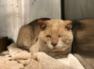 Animals, England, and Facebook: ***SAFE 2/3/19*** Pulled by Oliver's Orphan Oasis - Donation website: https://www.oliversorphanoasis.org/donate.html  *BLIND* Dewie is not doing well and so sad here. Can someone please help him feel better? @MACC  Manhattan Center  53754 - Dewie 8Y Male Orange Tabby DSH 9 lbs  Stray: 1/30/2019     Medical:  30-Jan-2019  Spay-Neuter Waiver Documentation  Vet Notes: 5:30 PM  [Spay/Neuter Waiver - Medical Condition]  Your newly adopted pet has been diagnosed with A HEART MURMUR and the staff veterinarians are issuing a permanent waiver from the spay/neuter requirements of the City of NY. Follow up care at your regular veterinarian is recommended to ensure continued treatment. Your veterinarian will advise you if surgical sterilization is appropriate.  30-Jan-2019  Tech Exam  L V T Notes: 5:21 PM  As per Dr 1516, Placed 22 G IVC in right cephalic. Hooked up to LRS IV fluids at 18ml/hr. Gave Convenia 0.45mls SQ and Onsior 0.44 ml SQ. Cleaned ears. Placed in medical ISO with yesterdays news litter and food/water.  30-Jan-2019  DVM Intake  Vet Notes: 4:39 PM  DVM Intake Exam  Estimated age: ~8-10 yrs based on PE  Microchip noted on Intake? scanned negative. placed by LVT   History : stray   Subjective / Observed Behavior - BAr, loose body. Allows all handling.   Evidence of Cruelty seen -none  Evidence of Trauma seen - yes, self trauma to ears   Objective  BCS 4/9 EENT: microophthalmia OD, non patent palebrae OS; ears are dirty with heavy black debris, crusted, AU; crusted nasal discharge and audible congestion  Oral Exam: missing all incisors. fractured maxillary canines.  PLN: No enlargements noted H/L: 3/6 parasternal murmur auscultated; CRT < 2, Lungs clear, eupnic ABD: Non painful, no masses palpated U/G: intact male. testicles smooth and symmetrical.  MSI: Ambulatory x 4, skin free of parasites, hair coat is dirty. abscess caudal to the right ear with 1inch crust. Ruptured with pressure; thick purulent discharge extruded, followed by 