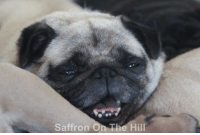 A certain little pug is excited that the weekend is nearly here. What has everyone got planned? N xx: Saffron On The Hill A certain little pug is excited that the weekend is nearly here. What has everyone got planned? N xx