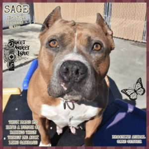 Andrew Bogut, Cats, and Children: SAGE  ID# 57244  3 YRS OLD  Sucer  Loive  HEY MADE ME  HAVE A BUNCH OF  E AB0033 TRIEN  HREW ME AWAY  LIKE GARBAGE  BROOKLYN ANTMAL INTAKE DATE: 03-16-2019  They made me have a bunch of babies then tossed me out like garbage... Please help me my time is almost up!!  SAGE, ID# 57244, 3 yrs old, 55 lbs, Brooklyn Animal Care Center, Large Mixed Breed Cross, Tan / White Female,  Found Stray  Shelter Assessment Rating:  Medical Behavior Rating: Blue   MEDICAL EXAM NOTES:  Estimated age: 3y Microchip noted on Intake? no Microchip Number (If Applicable): History : stray Subjective: BARH, normal appetite, no elimination concerns Observed Behavior - allowed handling, responded better with less restraint, slightly head shy likely ears related. Was muzzled more for reassurance than risk Evidence of Cruelty seen - no Evidence of Trauma seen - no Objective P = wnl R = wnl BCS 5/9 EENT: Eyes clear, ears cropped, moderate debris and swelling AS>AD, AS has some calcification and excoriation, no nasal or ocular discharge noted Oral Exam: unremarkable incisors PLN: No enlargements noted H/L: NSR, NMA, CRT < 2, Lungs clear, eupnic ABD: Non painful, no masses palpated U/G: female intact, no leakage or discharge, grown pendulous mammary tissue MSI: Ambulatory x 4, skin free of parasites, no masses noted, healthy hair coat CNS: Mentation appropriate - no signs of neurologic abnormalities Rectal: visually normal Assessment otitis externa Prognosis: good Plan: clean ears Claro AU once ok for surgery will reassess and clean ears further if needed during surgery SURGERY: Okay for surgery   *** TO FOSTER OR ADOPT ***   If you would like to adopt a NYC ACC dog, and can get to the shelter in person to complete the adoption process, you can contact the shelter directly. We have provided the Brooklyn, Staten Island and Manhattan information below. Adoption hours at these facilities is Noon – 8:00 p.m. (6:30 on weekends)   If you CANNOT get to the shelter in perso
