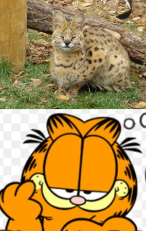 Jail, Tumblr, and Animal: saladsaladnovski: snoopingasusualisee:  garfield is a serval and jon should be in jail for illegally owning an exotic animal  jon should be in jail for more than just that