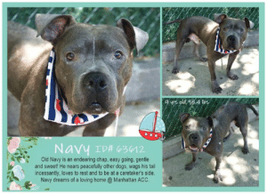 "Apparently, Click, and Dogs: salssp sah b  Navy ID# 63012  Old Navy is an endearing chap, easy going, gentle  and sweet! He nears peacefully other dogs, wags his tail  incessantly, loves to rest and to be at a caretaker's side.  Navy dreams of a loving home @ Manhattan ACC. TO BE KILLED 6/15/19  FOSTER END - NAVY IS BACK IN THE SHELTER SINCE JUNE 8th ~ Sadly, lovable Navy is no longer in foster - and it was nobody´s fault. Navy cannot climb stairs very well and his foster as not able to carry him.   Everybody knows Navy goes with everything! ~ Lovable Navy is an older gentleman who was found tied to a pole - underweight, yet very friendly and sweet <3 A volunteer writes: Navy blends with his blanket and is hard to spot in his kennel. He lifts his head right away as I open his door and comes forward, ready for a meet and greet. What a gentle and sweet soul! With some help, this older gentleman hops out of his den, and slowly we make our way to the street, where he nears peacefully other dogs and does his business without marking. He likes my treats, wags his tail incessantly and looks at me with a puzzled face. He clearly loves to rest, so we sit by a tree, in the shadow, nodding with a smile at the nice comments made by passersby. Old Navy is truly an endearing chap, easy going, glad to be at a caretaker's side and who dreams to be one day the object of someone 's thoughts and love. Navy is at the Manhattan Care Center, hoping to meet you soon.  A Staff Member Notes:  Navy would do best in a home with other gentle, respectful dogs. Navy is a sweet, gentle and highly social old man with no behavior concerns.   MY MOVIES: Gentle Navy https://youtu.be/vjAzfmZj5Bg Navy feels better https://youtu.be/nKEw04LiQBg   NAVY, ID# 63612, 9 yrs old, 55.4 lbs, Manhattan Animal Care Center, Large Mixed Breed Cross, Gray Male,  Stray - Found tied up to pole. Possible cruelty. Shelter Assessment Rating: LEVEL 1 Medical Behavior Rating:  BEHAVIOR NOTES:  Means of surrender (length of time in previous home): Stray  SAFER ASSESSMENT: Date of assessment: 24-May-2019  Summary:  Leash Walking Strength and pulling: Moderate Reactivity to humans: None Reactivity to dogs: None Leash walking comments: None  Sociability Loose in room (15-20 seconds): Highly Social Call over: Approach readily Sociability comments: body soft, leans in  Handling  Soft handling: Seeks contact Exuberant handling: Seeks contact Handling comments: body soft, wagging tail, leans in  Arousal Jog: Follows (loose) Arousal comments: None  Knock: Approaches (loose) Knock Comments: body soft  Toy: Grips, relinquishes Toy comments: Body soft  PLAYGROUP NOTES - DOG TO DOG SUMMARIES:  5/23: When introduced off leash to the female greeter dog, Navy is soft and polite when greeting.  MEDICAL BEHAVIOR: Date of initial: 22-May-2019 Summary: Allowed handling  ENERGY LEVEL: We have no history on Navy so we cannot be certain of his behavior in a home environment. At the care center, Navy has displayed a medium level of energy.   BEHAVIOR DETERMINATION: Level 1 Behavior Asilomar H - Healthy  MEDICAL EXAM NOTES   23-May-2019  Tech Exam Per Dr. 1379, performed CBC/Chem  23-May-2019  Blood Work Interpretation CBC/chem: No significant findings.  23-May-2019  DVM Intake Exam Estimated age: 8-9 years Microchip noted on Intake? No, placed at MACC Microchip Number (If Applicable): History : Found tied up to pole. Possible cruelty. Reported to have trouble getting around and into and out of kennel while he has been here at the shelter. Subjective: BAR Observed Behavior -Very friendly. Wagging his tail and taking treats the entire time. He did not give us any issues at all.   Evidence of Cruelty seen -Possibly, yes Evidence of Trauma seen -No  Objective  T = P =112 bpm R =eup BCS 3.5/9 EENT: Moderate yellow corneal discharge OD, dry eye OD, mild dry eye OS, ears clean, dried crusted nasal discharge right nostril only Oral Exam: 2/4 tartar PLN: No enlargements noted H/L: NSR, NMA, CRT < 2, Lungs clear, eupnic, no c/s ABD: Non painful, no masses palpated U/G: M/I, both down, s/s testes MSI: Ambulatory x 4, slightly resistant on manipulation of hips, suspect arthritic, generalized patchy alopecia with crusting, multiple superficial wounds and scrapes on limbs, mildly swollen neck, no obvious masses noted CNS: Mentation appropriate - no signs of neurologic abnormalities Rectal: Clean externally Assessment: -Dry eye/KCS OU (OD>>>OS) -Patchy alopecia with crusting/pyoderma -Superficial scraps and wounds -Underweight -Arthritis -Geriatric Prognosis: Fair Plan: -CBC/chem -STT: OD=7 mm/min, OS 13 mm/min -Flushed out eyes -Start optimmune both eyes BID indefinitely -Cefpodoxime 200 mg PO SID x 14 days -Rimadyl 50 mg PO BID x 14 days as trial to see if helps with arthritis (recheck in 14 days and if doing well extend it, consider trying low dose 50 mg PO SID, best to do lowest effective dose) -3x a day feedings -Schedule medicated bath -Recommend monitor blood work q6 months since will be on Rimadyl long-term for arthritis -Recheck in 14 days SURGERY:  Permanent waiver due to age  23-May-2019  Spay-Neuter Waiver Documentation [Spay/Neuter Waiver - Age] It is the policy of ACC not to perform surgery on any animal over the age of 8-10 years due to the higher risks incurred in a shelter setting. The veterinarian is hereby issuing a permanent spay/neuter waiver, from the spay/neuter requirements of the City of NY due to the estimated age of this animal. ACC does recommend you consult with your veterinarian to determine if surgical sterilization is appropriate.  22-May-2019  LVT Intake  Microchip Scan: Negative, placed MC Evidence of Cruelty: No Observed Behavior: Green, allows handling Sex: male intact Estimated Age: 7 yrs. Subjective: Stray Eyes: little mucous secretion Ears: both ears are clean and clear Oral Exam: moderate tartar Heart: normal rhythm and rate  Lungs: normal rhythm and rate Abdomen: palpated, no masses seen, not extended Musculoskeletal: ambulatory Mentation: BARH BCS : 5/9 Preliminary Assessment:Apparently healthy Plan: need DVM exam and RV NOSF  *** TO FOSTER OR ADOPT ***  HOW TO RESERVE A ""TO BE KILLED"" DOG ONLINE (only for those who can get to the shelter IN PERSON to complete the adoption process, and only for the dogs on the list NOT marked New Hope Rescue Only). Follow our Step by Step directions below!   *PLEASE NOTE – YOU MUST USE A PC OR TABLET – PHONE RESERVES WILL NOT WORK! **   STEP 1: CLICK ON THIS RESERVE LINK: https://newhope.shelterbuddy.com/Animal/List  Step 2: Go to the red menu button on the top right corner, click register and fill in your info.   Step 3: Go to your email and verify account  \ Step 4: Go back to the website, click the menu button and view available dogs   Step 5: Scroll to the animal you are interested and click reserve   STEP 6 ( MOST IMPORTANT STEP ): GO TO THE MENU AGAIN AND VIEW YOUR CART. THE ANIMAL SHOULD NOW BE IN YOUR CART!  Step 7: Fill in your credit card info and complete transaction   HOW TO FOSTER OR ADOPT IF YOU *CANNOT* GET TO THE SHELTER IN PERSON, OR IF THE DOG IS NEW HOPE RESCUE ONLY!   You must live within 3 – 4 hours of NY, NJ, PA, CT, RI, DE, MD, MA, NH, VT, ME or Norther VA.   Please PM our page for assistance. You will need to fill out applications with a New Hope Rescue Partner to foster or adopt a dog on the To Be Killed list, including those labelled Rescue Only. Hurry please, time is short, and the Rescues need time to process the applications."