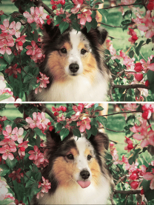 doggosource:she pretty and she knows: Sam the Sheltie  tumblr.com doggosource:she pretty and she knows