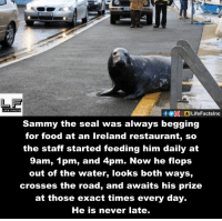 Memes, Cross, and Ireland: Sammy the seal was always begging  for food at an Ireland restaurant, so  the staff started feeding him daily at  9am, 1 pm, and 4pm. Now he flops  out of the water, looks both ways,  crosses the road, and awaits his prize  at those exact times every day.  He is never late.