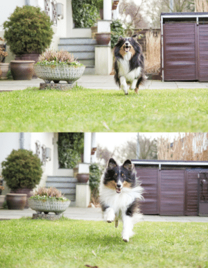 Love, Tumblr, and Blog: sammythesheltie:I love his face when he is running - happy boy 🐶.