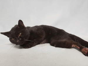 Butt, Cats, and Children: Sampson Hello, my name is Sampson. My animal id is #57837. I am a male black cat at the Manhattan Animal Care Center. The shelter thinks I am about 4 years old.  I came into the shelter as a stray on 22-Mar-2019.   Sampson is at risk due to medical conditions. Sampson appeared at the care center with hind limb lameness, anemia and wounds (bite wounds can't be ruled out). Sampson will require a 6 month observation due to wounds and medical attention for other conditions. Behaviorally Sampson is appropriate for any adopter.  *This account is not monitored. If you would like to reserve an animal that is available for public adoption, please follow the instructions on https://newhope.shelterbuddy.com/Animal/List. If an animal is listed as New Hope only, please contact an ACC New Hope partner that is accepting foster/adoption applications: http://www.nycacc.org/get-involved/new-hope/nhpartners *  My medical notes are... Weight: 7 lbs  Vet Notes L V T Notes  23/03/2019  [DVM Intake] DVM Intake Exam  Estimated age: ~ 1 yr Microchip noted on Intake? None Microchip Number (If Applicable):  History: Stray found outside  Subjective: QAR  7% dehydrated-tacky mm, prolonged skin turgor  Observed Behavior - Quiet, but alert. Allowed medical handling.  Evidence of Cruelty seen - None  Evidence of Trauma seen - None  Objective   T = none taken P = ~184 bpm R = 20 bpm BCS: 3/9  EENT: moderate ocular discharge, ears clean, mild crusted nasal discharge noted Oral Exam: Clean adult dentition PLN: No enlargements noted H/L: NSR, NMA, CRT < 2, Lungs clear, eupnic ABD: Non painful, no masses palpated, small soft palpable bladder U/G: MI, 2 testicles descended MSI: Ambulatory x 2, Ulcerated, alppecic skin lesions/wounds on hind limbs, feces and suspect fecal scalding on perineum and scrotum, non-ambulatory on hind limbs, normal withdrawls, no CP deficits, painful on extension of hips bilaterally, questionable tail tone, but is able to feel palpation of tail as responds to palpation, thin body condition CNS: Mentation appropriate - no signs of neurologic abnormalities Rectal: Not performed  Assessment: ~1 yr MI DSH Wounds Fecal scalding Hind limb lameness-r/o pelvic fractures vs neuro vs other Diarrhea Hematuria noted by good samaritan who found him-r/o trauma  Prognosis: Fair to Poor  Plan: CBC/Chem Clean wounds with sterile saline Parvo snap-negative Cerenia 1 mg/kg SQ Unaysn 30 mg/kg IV TID Hydro 0.1 mg/kg IV TID-give BID if too sedate Panacur 50 mg/kg PO SID x 5 days Erythromycin OU BID LRS @ 90 ml/kg/day  Recommend sedated radiographs and wound treatment tomorrow. Consider humane euthanasia  SURGERY:  Temporary waiver due to injuries  Addendum-blood work showed severe anemia though noted that it is likely regenerative, leukocytosis with monocytosis and neutrophilia with a left shift, elevated t-bili, elevated ALT, low ALP, hyperproteinemia, thrombocytopenia, but noted likely adequate platelets, hyperglobulinemia, elevated BUN,  Recommend recheck CBC tomorrow prior to sedation.  23/03/2019  BAR, eating well, seems comfortable in cage  Mild conjunctivitis OU, clean AU, mild congestion auscultated but no active nasal discharge OP clean teeth PLN wnl H/L reg, no obvious murmur, ssp, lungs clear/eupenic, no c/s ABD snp MSK he does have motor in hind limbs but he is not ambulating (grade 4/4 lameness), normal ambulation FL's, swollen both HL paws Integ large dirty wound on the dorsal aspect of both HL paws, no active discharge or bleeding BCS 3/9 UG m, suspect intact, scrotum looks very swollen and dirty with fecal material Neuro he does have anal tone Rectal actively having diarrhea during exam, dirty with fecal material  A: -Nonambulatory hindlimbs-r/o fractures vs. wounds vs. other -Wounds both HL's -Diarrhea -Underconditioned -Regenerative anemia -Neutrophilia with left shift -Mildly elevated BUN-r/o dehydration most likely vs. kidney dz -Elevated ALT-r/o hepatic lipidosis vs. other liver (infection vs. inflammation vs. neoplasia) -Elevated total bilirubin-see above  P: -Sedation: torb 0.1 mL IM, dexmedetomidine 0.06 mL IM and ketamine 0.06 mL IM -Check in-house urine specific gravity -X-rays both hind limbs -Clip and clean wounds -Continue IVF -Continue Unasyn -Continue Panacur -Continue erythromycin -Discontinue hydromorphone -Start Simbadol this afternoon 0.4 mL SQ SID x 7 days then re-evaluate -Start Baytril 100 mg/mL-Give 0.15 mL IV SID x 3 days then switch to oral if eating ok -Start metronidazole 100 mg/mL-Give 0.4 mL PO BID x 7 days for diarrhea -Recheck blood work in 3 days -Keep in medical for monitoring and daily wound care -Prognosis fair to guarded (pending x-rays)  23/03/2019  1-Urine obtained via cysto revealed severe hematuria with USG too high to read 2-Radiographs: 2V CXR-Mild diffuse bronchointerstitial pattern, normal cardiac silhoette, no obvious vertebral fractures 2V AXR-Feces in ascending, desending, and transverse colon, radiopaque material in stomach 2V pelvis and hindlimbs-physes appear partially open on tibial crest bilaterally. No obvious pelvis fractures. No obvious tail avulsion seen.  Patient given additional 0.06 ml of dexdomitor and 0.06 ml of ketamine IV.  Wounds were shaved and cleaned/flushed with chlorehex solution and sterile saline. Three puncture wounds were noted at the dorsal tail base. Purulent discharge was noted from the puncture wounds. There was minimal pocketing when probed with 18g sterile catheter tip. Left open to heal by second intention and to allow for drainage.  Right and left hind limb disal extemities from proximal to hock to metatarsals has ulcerated wounds with possible necrotic tissue over them. No obvious discharge noted. No open wound present on LHL. RHL has full thickness circular opening-flushed with sterile saline and debrided with dry sterile gauze. In order to debride and potentially close lesion patient will require general anesthesia.  Small amount of diarrhea noted during exam.  Patient was noted prior to additional sedation to have anal tone and tail tone-patient moved tail. Motor remains present in hind limbs. Attempting to stand on hind limbs and splay out on hind limbs. Unable to stand on hind limbs.  Wounds of unknown origin noted on exam, puncture wounds may be consistent with bite wounds. Recommend contacting DOH to report wounds of unknown origin.   Recommend anesthetized wound treatment +/- sedated bandage tomorrow. Reassess neuro status prior to anesthesia.   Addendum (~6 pm)-lowered IVF rate of LRS to 60 ml/kg/day, patient brighter and eating well.  24/03/2019  PROBLEM LIST: Wounds to HL's paraparesis bladder issues- hematuria anemia   QAR h pink  eent- n fundics; no nasal or ocular dc plan- wnl hl- 200hr reg nm f femoral pulses abd- large bladder-- easily expressed ug- m; scrotal irritation  msi- r and l hl wounds over dorsal parasol and metatarsal areas; r hl eschar present; unable to use HL's neuro- deep pain present in HL's; soft cp deficits; large bladder and decrease anal tone  A) r/o HBCvs bite wounds vs other large bladder r/o neuro vs inability to posture to urinate guarded prognosis  P) serial neuro exams express bladder 2 times daily if needed  25/03/2019  HX: Wounds on HL's; paraparesis; bladder enlarged (atonic?)  QAR H eent- neg oral; n eyes and ears PLN- wnl HL- 200hr reg nm ss fp c and e ABD- large bladder (easily expressed); fecal material in colon (defecated during exam) UG-_ MI; scrotal inflammation msi- R HL- eschar dorsal metatarsal; L HL- pink abrasion; unable to walk on HL's-- slides across floor. Neuro- large bladder and hl paresis   A) r/o neuro injury   P) review rads taken cwsc monitor urinations and defecations monitor appetite- eating well currently  26/03/2019  History of hindlimb paresis secondary to a traumatic/bite injury to hindlimbs, scrotum, lumbar sacral area and tail   Pt QARH - eating and drinking  HR - 156 R - WNL  L - wnl H/L clear eupnic, nsr No murmurs  Mucus membranes pale + tachy EENT - no ocular or mucoid disharge   MSKI - full thickness wounds over scrotum, tail base and the dorsal aspect of the hind limbs are dry with minimal amount of purulent discharge and inflammation - wounds have overlying eschars.  + Ambulation - Pt ambulatory x 2 - Spastic paresis of the hindlimbs  + Body posture - pt can stand but with a splay legged stance - Postural reactions  + Frontlimbs - Wheelbarrows normal; Placement normal; Knuckling normal, withdrawal reflex present  + Hind-limbs - No placement, knuckling delayed, patella reflex reduced, withdrawal reflax present  + Bladder  - AM bladder empty/urinating a full stream without manual palpation  - PM bladder full - moderate amount of pressure required to express - urinated in separate streams + Anal tone present but reduced, reduced perinal reflex, pt defecated involuntarily on examination  + Pain - superfical and deep pain present on hind limbs, absent perianal superficial and deep pain   A  1. Pt BARH, eating and drinking 2. Wounds healing appropriately by second intention  3. No improvements in ambulation: spastic paresis/splay legging of the hind-limbs with CP deficits  4. UMN bladder, anal tone reduced with involuntary defection   Ddx - Suspect UMN Spinal Cord Lesion Caudal to T-2   P - Continue supportive care  - Monitor urination and defecation habits - ck for voluntary/involuntary urination   Prognosis - GUARDED   Due to poor prognosis of return to function recommend EHR if no appropriate placement found  23/03/2019  As per Dr 1511, put in 22g IVC in right cephalic and put on LRS @ 12 mL/hr.  Administered unasyn (3.3mL) IV, hydromorphone (0.15mL) IV, and cerenia (0.3ml) IV, erythromycin OU, and panacur (1.5ml) PO.  Ran CBC/chem and uploaded results to vet documents.  23/03/2019  sedated wound cleaning  x-rays uploaded to vet documents.   cysto done, urine specific gravity too high to read. Extra urine stored in fridge.  24/03/2019  Per Dr. 1379 this patient was administered 0.19 mLs of Buprenorphine SQ at 9:33 pm  Details on my behavior are... Behavior Condition: 1. Green  Behavior History Behavior Assessment Upon intake Sampson was meowing as we scanned for a microchip, collared and even while taking his intake photo.  Basic Information:: Sampson is about 4 years old and was surrendered as a stray. He has not been seen by the vet as of yet and appares to be injured in his hind limbs.  Previously lived with:: unknown  How is this cat around strangers?: Sampson is shy but friendly around strangers. He will meow a lot and allow you to pet him and pick he up as he meows.  How is this cat around children?: Sampson has not been around children so behavior is unknown.  How is this cat around other cats?: Sampson has not been around cats so behavior is unknown.  How is this cat around dogs?: Sampson has not been around dog so behavior is unknown.  Behavior Notes: No behavior notes  Bite history:: No bite history  Energy level/descriptors:: low  Has this cat ever had any medical issues?: Yes  Medical Notes: Sampson appares to be injured in his hind limbs  KNOWN HISTORY:: Sampson was brought in as a stray, there is no information on his behavior history or tendencies in a home environment except that the finder said that he friendly around strangers. He will meow a lot and allow you to pet him and pick he up as he meows.  MEDICAL BEHAVIOR:: 3/22/19 Quiet, but alert. Allowed medical handling.  ENRICHMENT NOTES:: 3/24/19 Lying down by the front of the kennel, calm and relaxed. Meows softly when coaxed and makes soft eye contact. Tries to get up and wobbles toward assessor when door opens, and then leans in for rubs right away and purrs. Sweet baby!  Cage Condition:: Cage is slightly re-arranged  Reaction to assessor:: Sampson was asleep.  Reaction when softly spoken to:: Sampson made relaxed eye contact.  Reaction to cage door opening:: Sampson meowed gently and turned to face the assessor.  Reaction to touch:: Sampson leaned in for petting and attempted to get up and stand, which he accomplished despite a medical condition, and he continued to energetically solicit petting. At times he would push his butt in the air. He loved treats. At various times he was chatty.  Reaction to being picked up:: Sampson accepted it.  ACTIVITY LEVEL:: Lively  VOCAL:: Somewhat chatty  CHARACTER TYPE: : Social,Sweet,Affectionate,Insistent,People oriented  BEHAVIOR DETERMINATION: : Beginner  Behavior Asilomar: H - Healthy  BEHAVIOR SUMMARY:: Sampson is a sweet, gentle and affectionate cat who interacts with the Assessor, solicits attention, is easy to handle and tolerates all petting. This cat can go to a beginner home. Please note that this cat is being treated for a medical condition at the time of evaluation. It is difficult to determine at this time how the medical condition may be affecting the behavior.