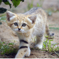 Growing Up, Memes, and Ups: Sand cats keep a kitten-like look their whole lives, giving the impression that they never grow up..