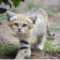 Sand cats keep a kitten-like look their whole lives, it looks like they never grow up.: Sand cats keep a kitten-like look their whole lives, it looks like they never grow up.