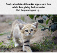 Cats, Never, and Cat: Sand cats retain a kitten-like appearance their  whole lives, giving the impression  that they never grow up... <p>I Want A Sand Cat.</p>