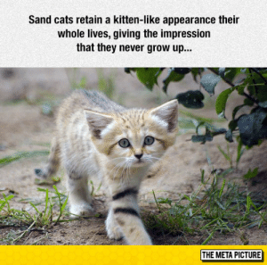 Cats, Club, and Tumblr: Sand cats retain a kitten-like appearance their  whole lives, giving the impression  that they never grow up...  THE META PICTURE laughoutloud-club:  I Want A Sand Cat