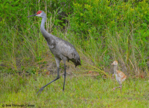 Sandhill Crane babies are referred to as colts because of their strong legs: Sandhill Crane babies are referred to as colts because of their strong legs