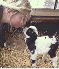 Memes, Baby Goat, and Baby Goats: @sandy vegan Everyone should get to kiss a tiny kid (baby goat)!   =)