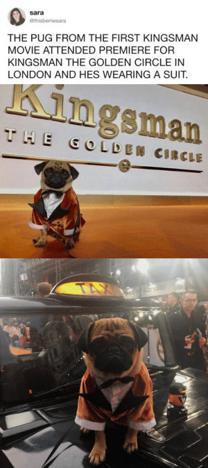 tastefullyoffensive:An important pupdate. (via thisbemesara): Sara  @thisbemesara  THE PUG FROM THE FIRST KINGSMAN  MOVIE ATTENDED PREMIERE FOR  KINGSMAN THE GOLDEN CIRCLE IN  LONDON AND HES WEARING A SUIT.   Kingsman tastefullyoffensive:An important pupdate. (via thisbemesara)