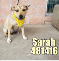 Dogs, Food, and Memes: Sarah Email Placement@sanantoniopetsalive.org if you are interested in Adopting, Fostering, or Rescuing!  Our shelter is open from 11AM-7PM Mon -Fri, 11AM-5PM Sat and Sun.  Urgent Pets are at Animal Care Services/151 Campus. SAPA! is Only in Bldg 1 GO TO SAPA BLDG 1 & bring the Pet's ID! Address: 4710 Hwy. 151 San Antonio, Texas 78227 (Next Door to the San Antonio Food Bank on 151 Access Road)  **All Safe Dogs can be found in our Safe Album!** ---------------------------------------------------------------------------------------------------------- **SHORT TERM FOSTERS ARE NEEDED TO SAVE LIVES- email placement@sanantoniopetsalive.org if you are interested in being a temporary foster!!**
