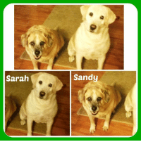 """SARA AND SANDY NEED A FOSTER OR FOREVER HOME  These two sweet girls are currently staying in a foster home as their beloved owner is in hospice care and nearing the end of her life. A temporary foster home was found for them but now, the foster (due to her own health issues) can no longer keep them. Sara is a 9 year old yellow Lab and Sandy is a 7 year old Lab mix. Although adults, they are in excellent health and you would certainly not call them 'old ladies!' Sara, the yellow Lab,  is a clown! She plays soccer all by herself and she plays catch with a big red bone in her mouth! She can be timid at times, but once she gains her confidence, she is so much fun and loving!!!  She definitely does not act like an """"older lady"""". Sandy is laid back, and very easy to care for. She will  'talk in the mornings' to wake you up to go outside. Sandy likes her morning walk to be leisurely as she wanders around just to find her very favorite several spots! Both girls are very well behaved, follow commands/directions and are house trained. The only medication they have is Benedryl, which is wrapped in cheese and  'tossed in the air'  - this is their fun game with their foster mom! These girls are so loving and just a delight - won't you please let them share their wonderful twilight years with you??? Pls call or text Mary Ann at 501-276-2385: Sarah  Sandy SARA AND SANDY NEED A FOSTER OR FOREVER HOME  These two sweet girls are currently staying in a foster home as their beloved owner is in hospice care and nearing the end of her life. A temporary foster home was found for them but now, the foster (due to her own health issues) can no longer keep them. Sara is a 9 year old yellow Lab and Sandy is a 7 year old Lab mix. Although adults, they are in excellent health and you would certainly not call them 'old ladies!' Sara, the yellow Lab,  is a clown! She plays soccer all by herself and she plays catch with a big red bone in her mouth! She can be timid at times, but once she gains her c"""