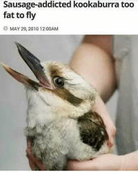 ok wtf thought this was a rabbit: Sausage-addicted kookaburra too  fat to fly  MAY 29, 2010 12:00AM ok wtf thought this was a rabbit