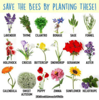 Memes, Sage, and Poppies: SAVE THE BEES BY PLANTING THESEI  LAVENDER  THYME  CILANTRO  BORAGE  SAGE  FENNEL  HOLLY HOCK  CROCUS BUTTERCUP SNOWDROP GERANIUM  ASTER  CALENDULA  SWEET  POPPY  ZINNIA SUNFLOWER HELIOTROPE  ALYSSUM  EBDav ⚛️