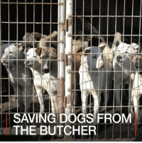 Memes, Butcher, and South Korea: SAVING DOGS FROM  THE BUTCHER 17 JAN: Animal welfare charities in South Korea are trying to re-home dogs which would have otherwise been eaten. Eating dog meat is not uncommon in parts of east Asia, despite opposition from those who see them as pets. Find out more: bbc.in-dogfarm dogs SouthKorea DogFarms HumaneSocietyInternational @hsiglobal BBCShorts BBCNews @BBCNews