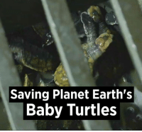 Dank, Earth, and Planets: Saving Planet Earth's  Baby Turtles The film crew actually saved as many as they could... 🐢🐢  Credit: BBC Earth