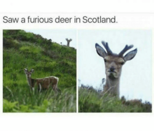 The Cumberbatch deer is emerging.: Saw a furious deer in Scotland The Cumberbatch deer is emerging.