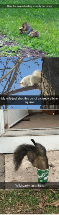 animalsnaps:Squirrel snaps: Saw this squirrel eating a candy bar today   My wife just shot this pic of a sleepy albino  squirrel   Wild party last night animalsnaps:Squirrel snaps