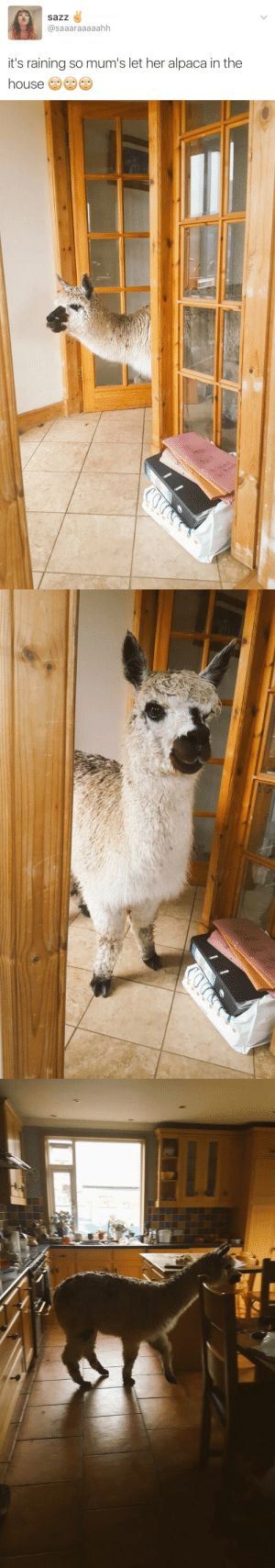 Fuck, House, and Alpaca: sazz  @saaaraaaaahh  it's raining so mum's let her alpaca in the  house Why the fuck are you annoyed? This is NOT a problem but a fortunate, benevolent, holy event.