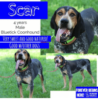 Dogs, Memes, and Puppies: Scar  4 years  Male  Bluetick Coonhound  VERY SWEET AND GOOD NATURED!  GOOD W/OTHER DOGS  FOREVER BEGINS  HERE!  HUMANE  SOCIETY  MIDLAND COUNTY All dogs/puppies in our shelter can be viewed here.  Any dog not being held as a stray is available for immediate, same-day adoption! Adoption applications are reviewed on site. Please share our dogs and help get them out of the shelter as quickly as possible!  **PLEASE NOTE**  Placing an application on a dog featured in this album does NOT hold the dog for you.  All available dogs are available to be met and adopted same day if already altered.  If not altered, the dog can be met and paid for in order to hold the dog for you.  Thank you for your understanding!