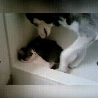 Taps, Perfect Loop Gif, and Cat: Scaredy cat tippy taps