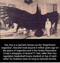 """I wanna ride it ~Matt: @scary horror  Yes, this is a real bird. Known as the """"Magnificent  Argentine"""", this bird lived around 6 million years ago on  the plains of Argentina and in the Andes Mountains.  It had a wingspan of around 21 feet, taller than two  regulation basketball hoops stacked on top of each  other! It's feathers were as long as samurai swords. I wanna ride it ~Matt"""