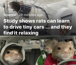 When the homies together: Science 28 minutes ago  Study shows rats can learn  to drive tiny cars... and they  find it relaxing  OND  U/SwissChocolate0 When the homies together