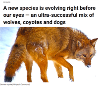 "Animals, Bailey Jay, and Cats: SCIENCE  A new species is evolving right before  our eyes- an ultra-successful mix of  wolves, coyotes and dogs   Eastern coyote (Wikipedia Commons) <p><a href=""http://animalsandtrees.tumblr.com/post/132332695475/a-new-species-is-evolving-before-scientists-eyes"" class=""tumblr_blog"">animalsandtrees</a>:</p>  <blockquote><p>A new species is evolving before scientists' eyes in the eastern United States.</p><p>Wolves faced with a diminishing number of potential mates are lowering their standards and mating with other, similar species, <a href=""http://www.economist.com/news/science-and-technology/21677188-it-rare-new-animal-species-emerge-front-scientists-eyes?cid1=cust/ednew/n/bl/n/20151029n/owned/n/n/nwl/n/n/NA/n"">reported The Economist</a>.</p><p><b>The interbreeding began up to 200 years ago, as European settlers  pushed into southern Ontario and cleared the animal's habitat for  farming and killed a large number of the wolves that lived there.</b></p><p>That also allowed coyotes to spread from the prairies, and the white farmers brought dogs into the region.</p><p>Over time, wolves began mating with their new, genetically similar neighbors.</p><p>The resulting offspring — which has been called the eastern coyote  or, to some, the ""coywolf"" — now number in the millions, according to  researchers at North Carolina State University.</p><p><b>Interspecies-bred animals are typically less vigorous than their parents</b>, The Economist reported — if the offspring survive at all.</p><h2>That's not the case at all with the wolf-coyote-dog hybrid, which has developed into a sum greater than the whole of its parts.</h2><p><b>At about 55 pounds, the hybrid animal is about twice as heavy as a  standard coyote, and her large jaws, faster legs and muscular body allow her to take down small deer and even hunt moose in packs, and the animal  is skilled at hunting in both open terrain and dense woodland.</b></p><p>An analysis of 437 hybrid animals found that coyote DNA dominates her  genetic makeup, with about one-tenth of its DNA from dogs, usually  larger dogs such as Doberman pinschers and German shepherds, and a  quarter from wolves.</p><h2><b>The animal's cry starts out as a deep-pitched wolf howl that morphs into higher-pitched yipping — like a coyote.</b></h2><h2><b>Her dog DNA may carry an additional advantage.</b></h2><h2>Some scientists think the hybrid animal is able to adapt to city life  — which neither coyotes or wolves have managed to do on their own —  because her dog ancestry allows her  to tolerate people and noise.</h2><p>The coywolves have spread into some of the nation's largest cities —  including New York, Boston and Washington — using railway corridors.</p><p>The interbreeding allows the animal to diversify her diet and eat  discarded food, along with rodents and smaller mammals — including cats,  which coywolves eat skull and all — and they have evolved to become  nocturnal to avoid humans.</p><p>The animals are also smart enough to learn to look both ways before crossing roads.</p><p>Not all researchers agree the animal is a distinct species, arguing  that one species does not interbreed with another — although the  hybrid's existence raises the question of whether wolves and coyotes are  distinct species in the first place.</p><p><b>But scientists who have studied the animal say the mixing of genes  has been much faster, extensive and transformational than anyone had  noticed until fairly recently</b>.</p><blockquote><p>""(This) amazing contemporary evolution story (is) happening right  underneath our nose,"" said Roland Kays, a researcher at North Carolina  State.</p></blockquote><p><a href=""https://www.youtube.com/watch?v=Sd18fLEf_Cw"">Watch this report</a> on coywolves.</p><h2><a href=""http://www.rawstory.com/2015/10/a-new-species-is-evolving-right-before-our-eyes-an-ultra-successful-mix-of-wolves-coyotes-and-dogs/""><b>Raw Story</b></a><br/></h2></blockquote>"