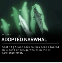 "Memes, Canada, and Constant Contact: SCIENCE  ADOPTED NARWHAL  Sept 13 |A lone narwhal has been adopted  by a band of beluga whales in the St.  Lawrence River. A narwhal has been adopted by a band of belugas in the St. Lawrence river. This particular narwhal has been spotted in the St. Lawrence River for the past three years, more than 1,000 kilometers south of its usual range. ___ The Group for Research and Education on Marine Mammals (GREMM) spotted the narwhal with a pod of young belugas, thought to be mostly or all males. ___ GREMM's president and scientific director say the narwhal ""behaves like it was one of the boys. They are in constant contact with each other."" ___ GREMM researchers believe the interactions between the narwhal and the belugas suggest the narwhal has been fully accepted into their group. ___ Narwhals traditionally live in the cold waters of the Arctic, including surrounding areas of Canada, Norway, Greenland and Russia. ___ Footage: GREMM"