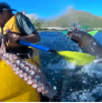 "Friends, Memes, and Wow: SCIENCE EXPLAINS WHY A SEAL SLAPPED A MAN IN THE FACE WITH AN OCTOPUS (🎥:@taiyomasuda @gopro @barekiwi) We've all seen the viral video of the kayaker in New Zealand taking a wicked slap from an octopus via a seal (or if this is your first time seeing the video, you're welcome!!), but this begs the question…. WHY?!?🐙🦑 Our friends at @inverse attempt to find answers: ""There isn't enough information to tell whether the octopus slap was purposefully directed at him, but based on what we know about seals, octopus-throwing is not actually that unusual. Seals in 🇳🇿New Zealand waters — the one in the video is most likely a New Zealand fur seal — are known to eat fish and cephalopods, including octopuses. A 1991 analysis by New Zealand's Department of Conservation showed that octopuses make up as much as 29 percent of a New Zealand fur seal's diet."" 🔗📖Read the full @inverse article here: https:-bit.ly-2xHEVlP 🌊🛶🐙 science marinebiology seal octopus ocean newzealand viral wow bestof"
