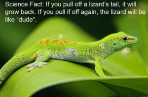 """Dude, not again by Aquila_Australia FOLLOW 4 MORE MEMES.: Science Fact: If you pull off a lizard's tail, it will  grow back. If you pull if off again, the lizard will be  like """"dude"""" Dude, not again by Aquila_Australia FOLLOW 4 MORE MEMES."""