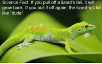 """lizard: Science Fact: If you pull off a lizard's tail, it will  grow back. If you pull if off again, the lizard will be  like """"dude""""."""