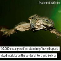 "Memes, Taken, and Oxygen: science guff.com  10,000 endangered scrotum frogs' have dropped  dead in a lake on the border of Peru and Bolivia Telmatobius culeus, a wrinkly amphibian known affectionately as a ""scrotum frog,"" is a critically endangered frog that's endemic to Lake Titicaca and the rivers that feed it. After 10,000 of them suddenly dropped dead within a 30-mile (50 kilometer) area, authorities are trying to figure out why. All signs point to severe pollution of the lake, which has taken an already tiny population (due to habitat loss and a species of invasive trout eating up all of their tadpoles) and brought it to the brink of extinction. How are they trying reverse this ecological nightmare? ""I've had to bring them [the government] the dead frogs. The authorities don't realise how we're living. They have no idea how major the pollution is. The situation is maddening,"" said activist leader and resident Maruja Inquilla. Fun fact: T. culeus' ballsack-looking skin increases their surface area, making it possible to absorb more oxygen. Photo cred: Bolivian Amphibian Initiative Science Amphibians Pollution Peru Bolivia Conservation Scrotum BestOf"
