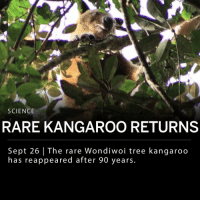 The Wondiwoi tree kangaroo, which hasn't been seen in nearly a century, has been spotted and photographed for the first time ever. Michael Smith, an amateur botanist from England, led an expedition in West Papua to find the rare species back in July. After photographing the mysterious animal, assumed to be extinct, Smith confirmed with world experts before coming forward with the news and images of his discovery. ___ The Wondiwoi tree kangaroo was first spotted by evolutionary biologist Ernst Mayr in 1928. The animal has not been seen or reported since that first sighting. ___ Photo: Michael Smith | National Geographic: SCIENCE  RARE KANGAROO RETURNS  Sept 26 | The rare Wondiwoi tree kangaroo  has reappeared after 90 years. The Wondiwoi tree kangaroo, which hasn't been seen in nearly a century, has been spotted and photographed for the first time ever. Michael Smith, an amateur botanist from England, led an expedition in West Papua to find the rare species back in July. After photographing the mysterious animal, assumed to be extinct, Smith confirmed with world experts before coming forward with the news and images of his discovery. ___ The Wondiwoi tree kangaroo was first spotted by evolutionary biologist Ernst Mayr in 1928. The animal has not been seen or reported since that first sighting. ___ Photo: Michael Smith | National Geographic