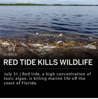 Red tide, or algal bloom, is killing marine life off the coast of Florida. Algal bloom occurs when there is a high concentration of toxic algae in waters. This occurs yearly but 2018 has had the longest bloom since 2009. Dead fish are washing up on Florida beaches and 300 sea turtles have been found dead, likely as a result of red tide. ___ The National Weather Service Center of Tampa, FL has issued a beach hazard to protect humans from potential health issues caused by the toxic algae. ___ Photo: Jeffrey Greenberg-UIG, via Getty Images: SCIENCE  RED TIDE KILLS WILDLIFE  July 31 |Red tide, a high concentration of  toxic algae, is killing marine life off the  coast of Florida Red tide, or algal bloom, is killing marine life off the coast of Florida. Algal bloom occurs when there is a high concentration of toxic algae in waters. This occurs yearly but 2018 has had the longest bloom since 2009. Dead fish are washing up on Florida beaches and 300 sea turtles have been found dead, likely as a result of red tide. ___ The National Weather Service Center of Tampa, FL has issued a beach hazard to protect humans from potential health issues caused by the toxic algae. ___ Photo: Jeffrey Greenberg-UIG, via Getty Images