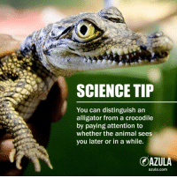 """Memes, Alligator, and Animal: SCIENCE TIP  You can distinguish an  alligator from a crocodile  by paying attention to  whether the animal sees  you later or in a while  OAZULA  azula.com <p>See you later alligator via /r/memes <a href=""""http://ift.tt/2hDoyll"""">http://ift.tt/2hDoyll</a></p>"""